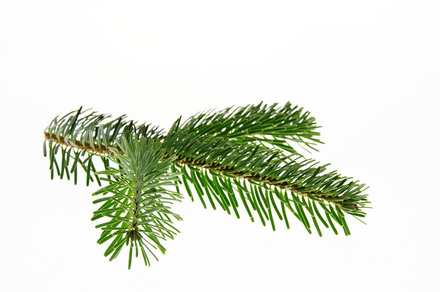 Nordmann Jedle, Jedle, Vánoce, Větev, Vánoční